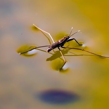 This bug has many names, even Jesus bug, and water skeeter