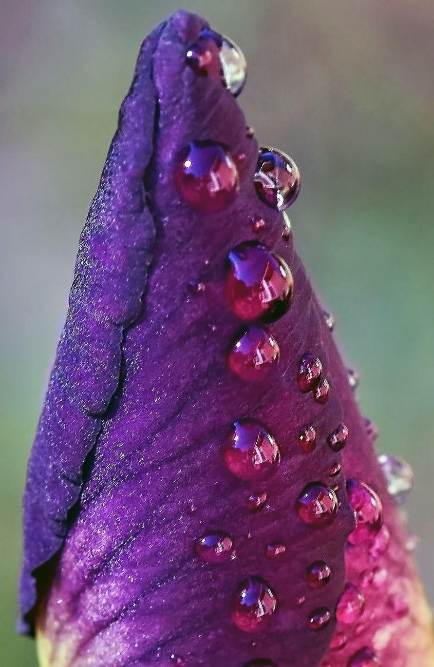 Tip of an Iris Bud
