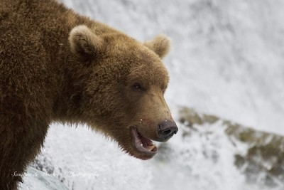 Grizzly on the hunt