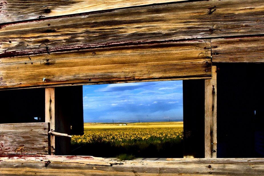 sunflower field framed