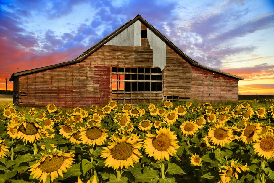 sunrise in the sunflower field
