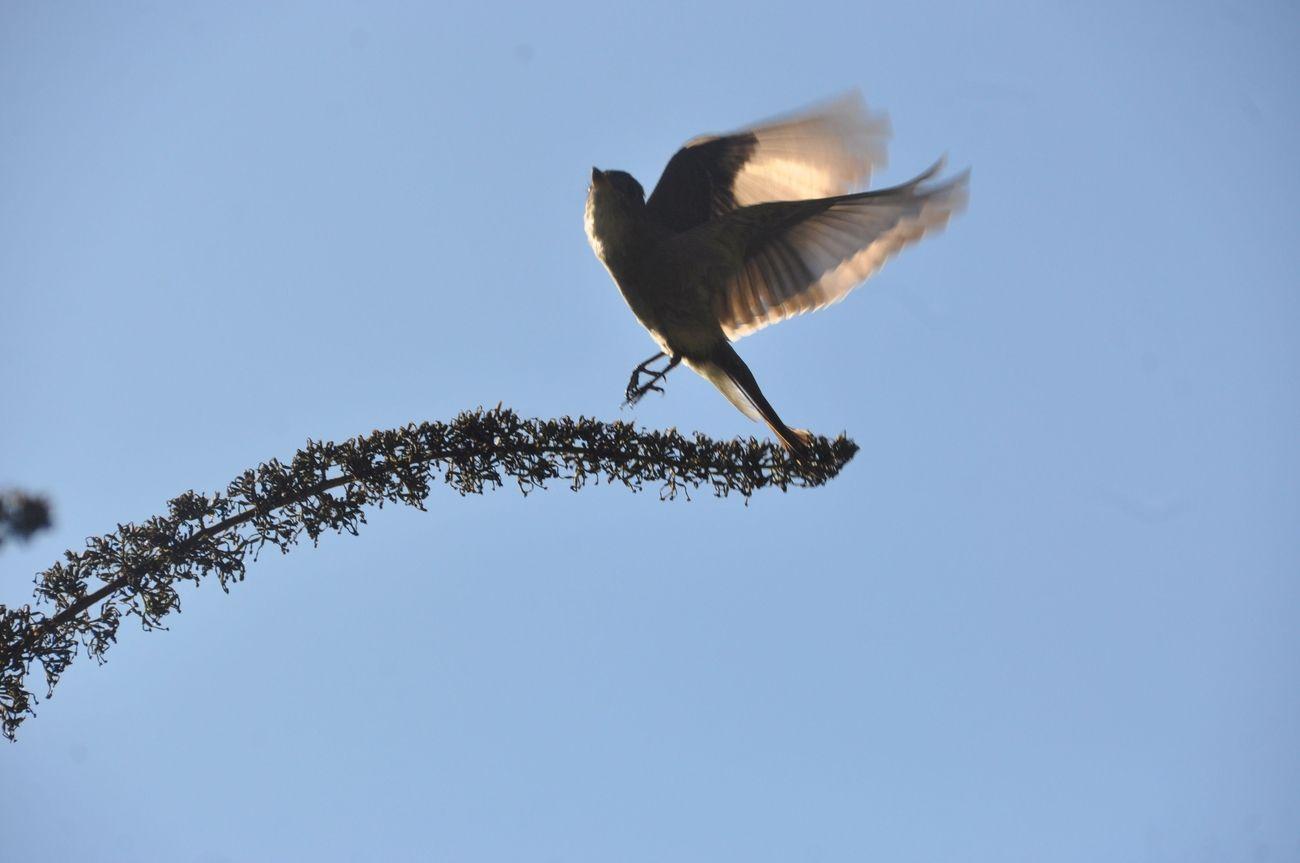Male hummingbird taking off.
