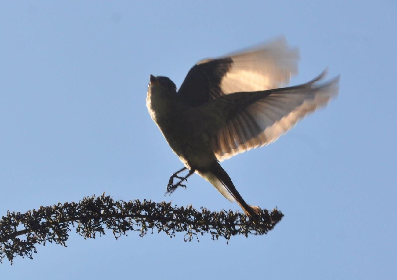 Hummingbird in flight taking off from a shrub branch.