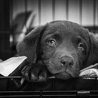 a cute shot of my new chocolate labrador falling asleep in her new home on her first day home in black and white