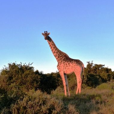 Giraffe in Silhouette