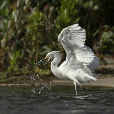 Snowy Egret DSC00004