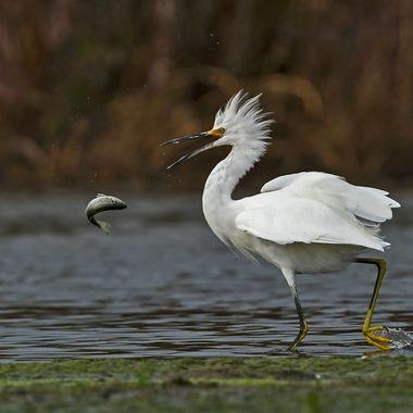 Snowy Egret DSC00137