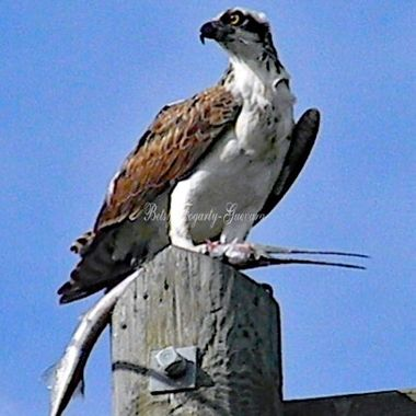 Osprey and His Gar Fish