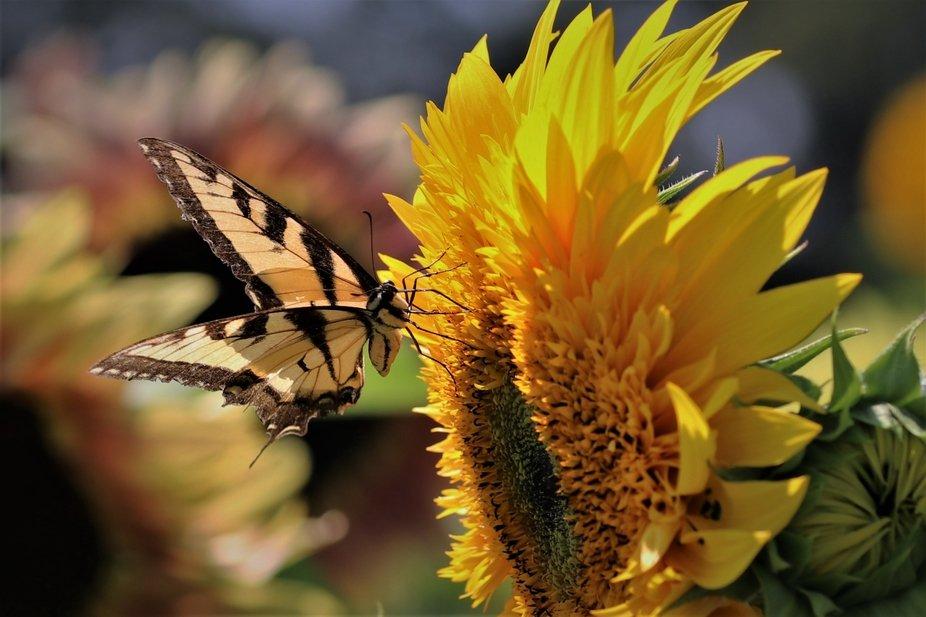 Butterfly feeding off sunflower