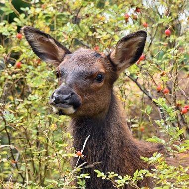 Elk of all kinds