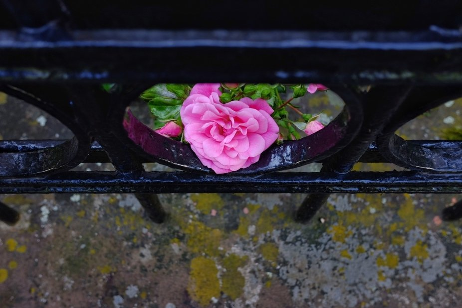 I took this picture on my way to work. A simple pink bloom, a wrought-iron fence and some light i...