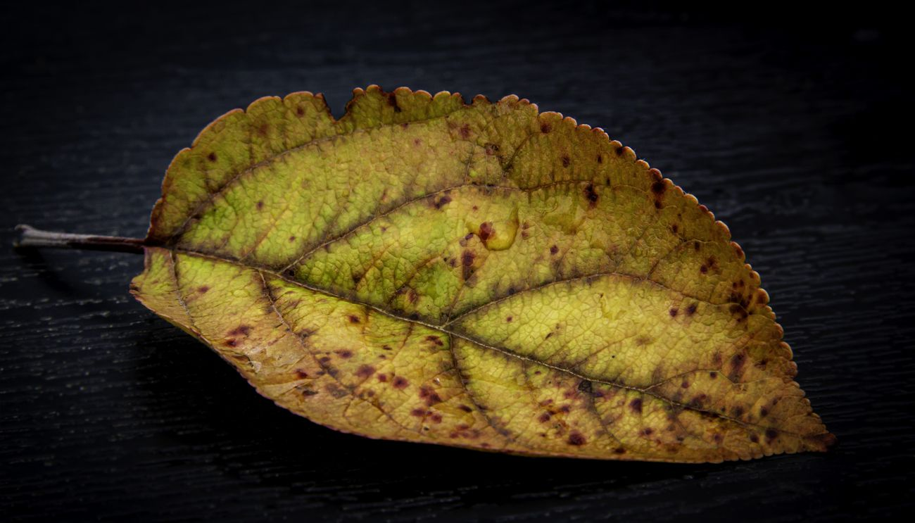 A colorful autumn leaf on a black background