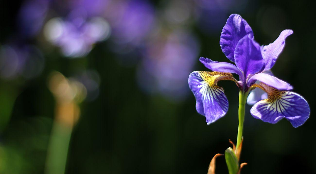 Blue Iris flower against a dark green background
