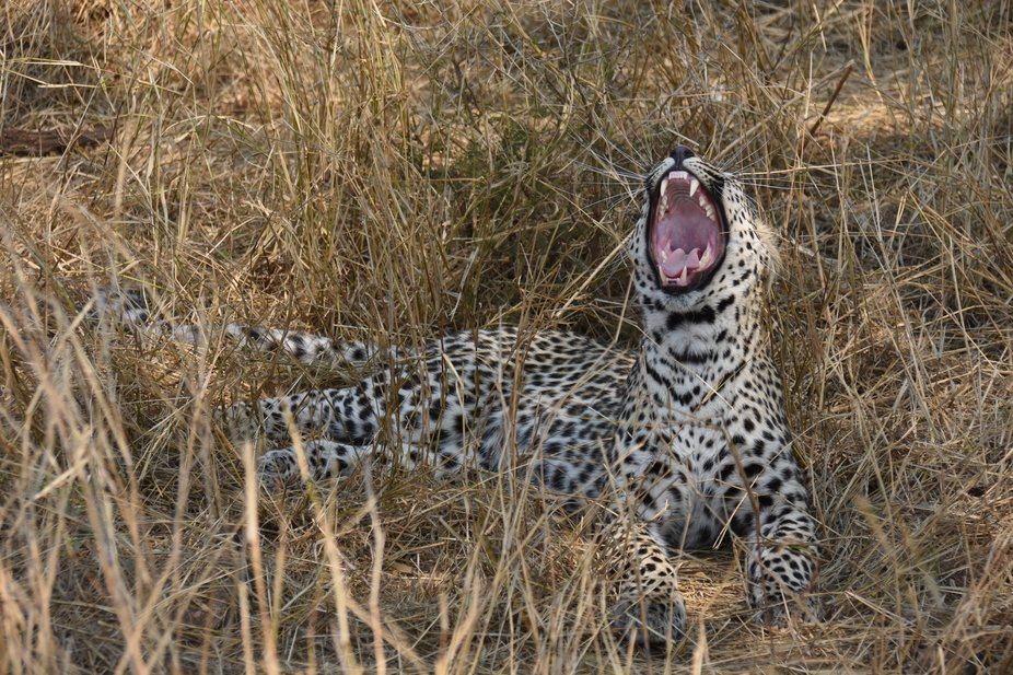 Young Leopard Yawning