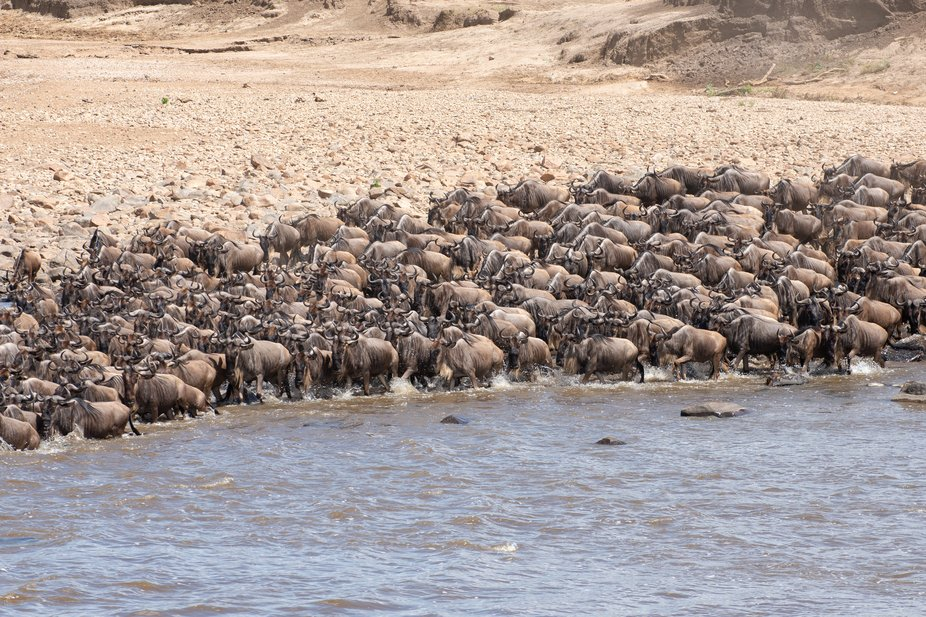 A large group of gnus about to cross the Mara river in the serengeti National Park, Tanzania side...