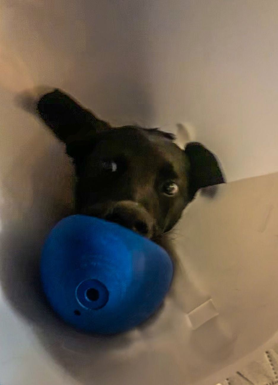 Just got spayed but after meds kicked in found a way to make the most of a bad thing, running around after getting ball some how with that cone on! - baby girl 6 months on Friday...rescued and loved