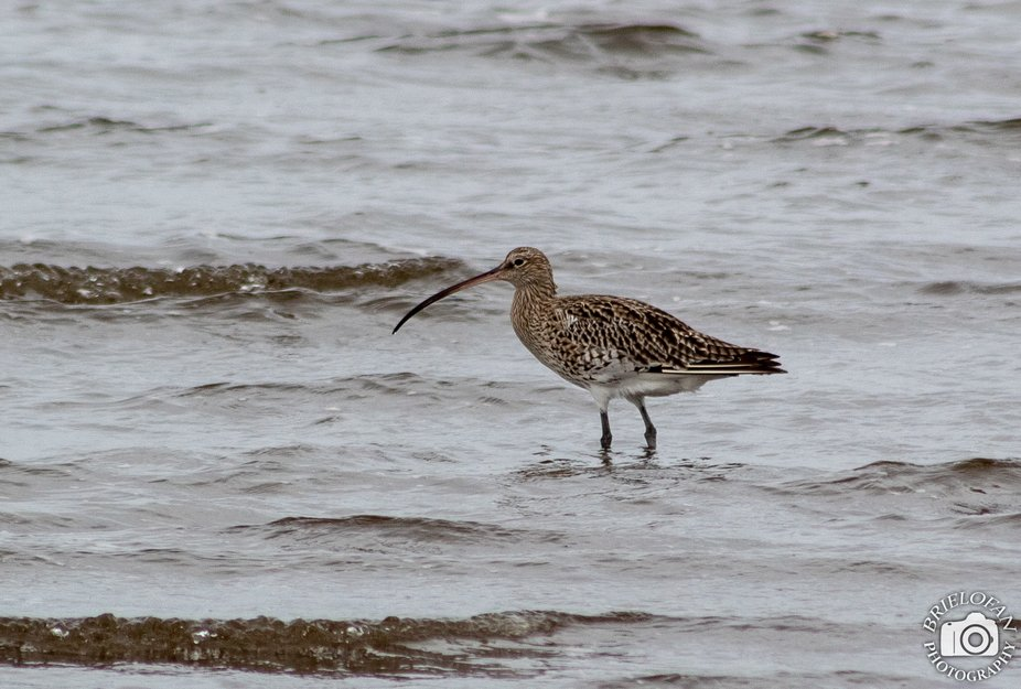 curlew-3223