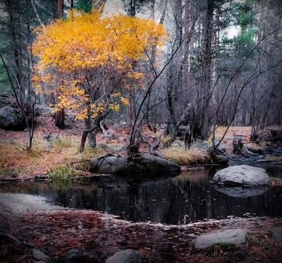 Golden Tree - Fall on the Upper Santa Clara River in Pine Valley, Utah. Another great adventure with @steadsok