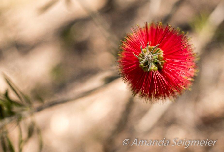 Red Bottle Brush, Australian Native Plant part of the Wattle family.