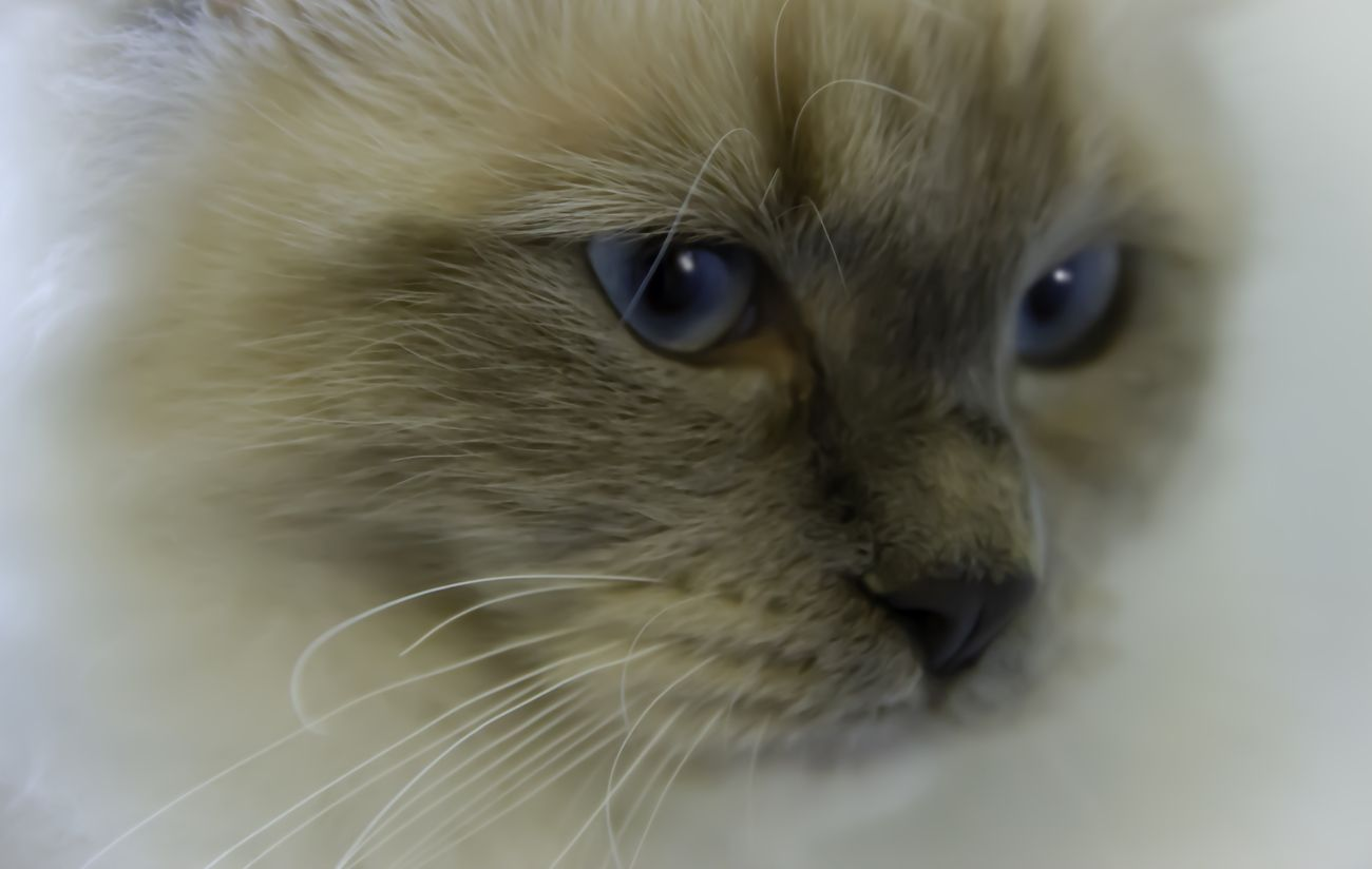 Ragdoll cat kitten with blue eyes closeup