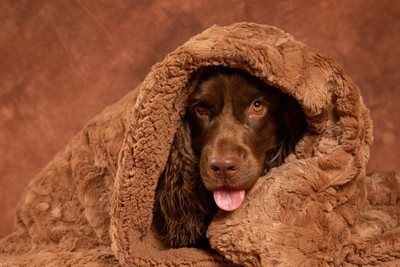 Sussex Spaniel Hiding