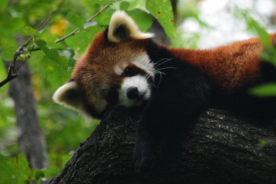 Red Panda Laziness
