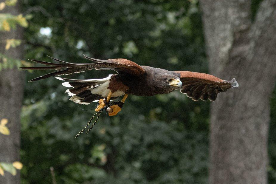 Beginning Falconry 101 - Harris Hawk