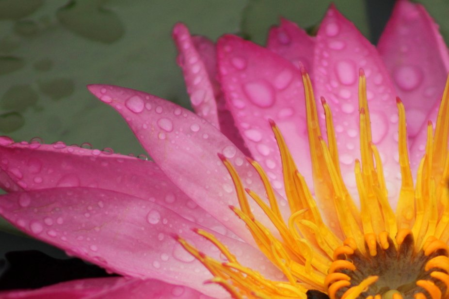 Late-season water lily on a rainy day.