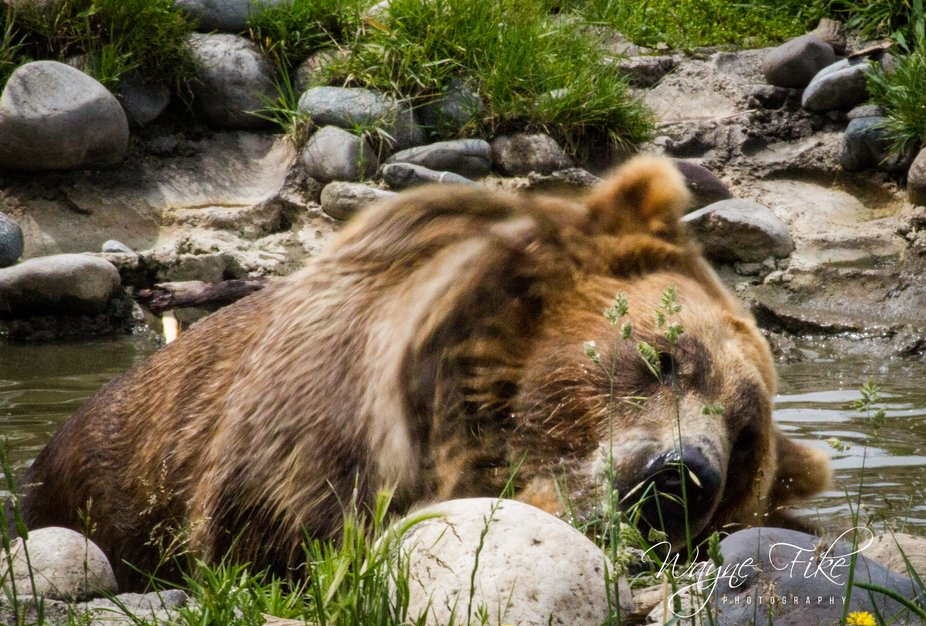 Bella the Grizzly  Many of my photos are for sale, please click over to my photography store and ...