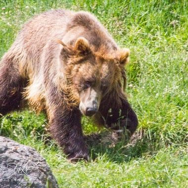 Bella the Grizzly Many of my photos are for sale, please click over to my photography store and take a peek. I have something for just about anyone who loves nature.
