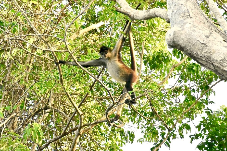 Near my home, we have lots of Spider Monkeys who live in the trees and love walking the canopy of...