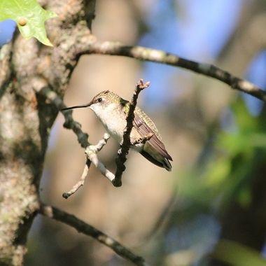 Hummingbird Series X