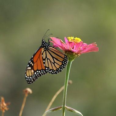 Late Monarch