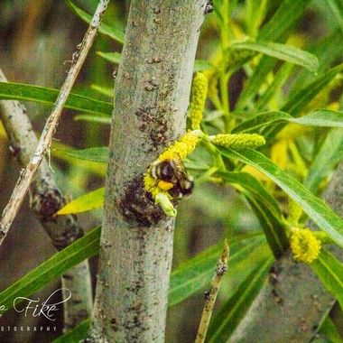 A bumble bee I caught out at Delmoe Lake  Many of my photos are for sale, please click over to my photography store and take a peek. I have something for just about anyone who loves nature.