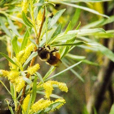 Caught this bumble bee Delmoe lake.  Many of my photos are for sale, please click over to my photography store and take a peek. I have something for just about anyone who loves nature.