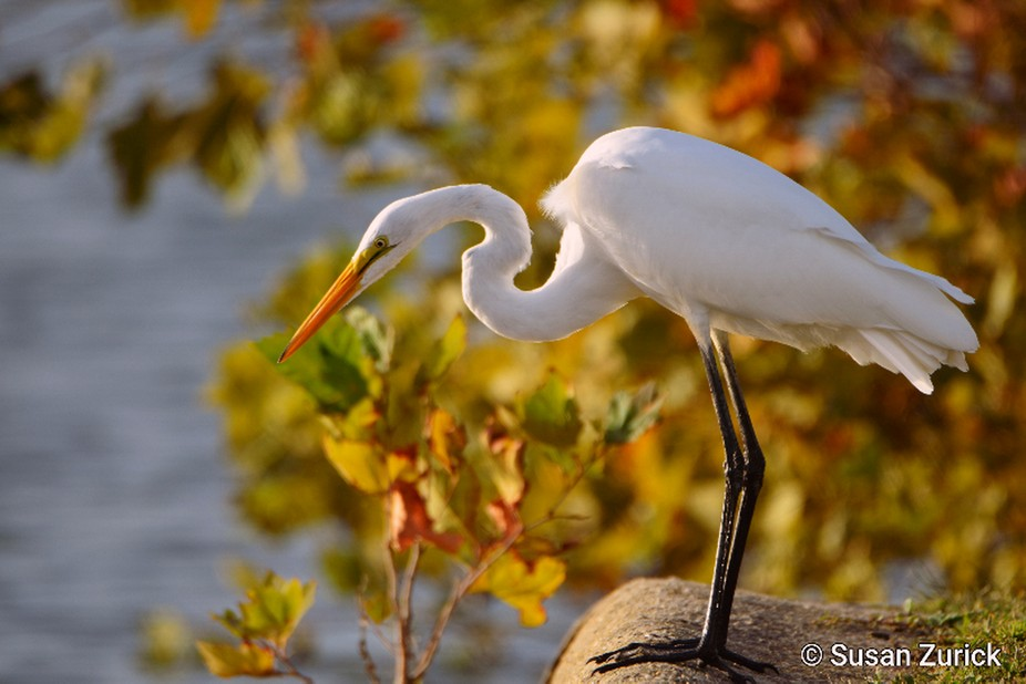 Beautiful fall day and a Great Egret to photograph
