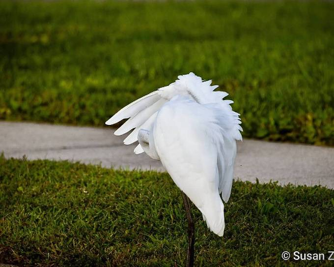 Great Egret being shy