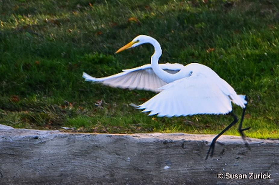 doing the Egret dance