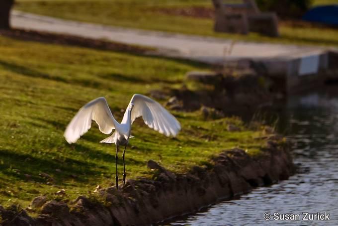 taking flight, White Egret
