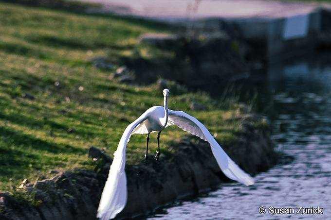 and there he goes! Great Egret