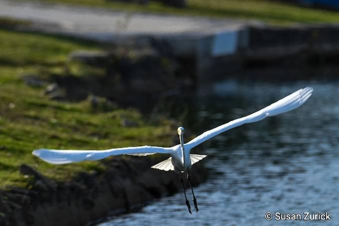 Soaring, Great Egret