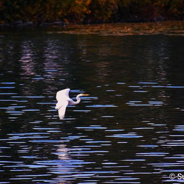 He did it! Flying Egret