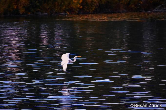 He did it! Flying Egret