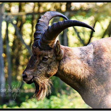 Saba-2017 (78)_pe_ Old Goat.