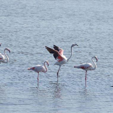 Grupo de flamencos rosas, descansando en la desembocadura del rio Guadalhorce (Malaga-Spain)