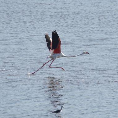 Flamenco rosa, en carrera de inicio de vuelo.en la desembocadura del rio Guadalhorce (Malaga-Spain)