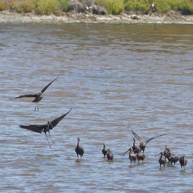 Bando de Moritos comunes (Plegadis falcinellus),en la desembocadura del rio Guadalhorce (Malaga-Spain), Es el unico Ibis que cria en  europa