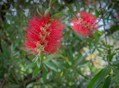 Bottle Brush Flower