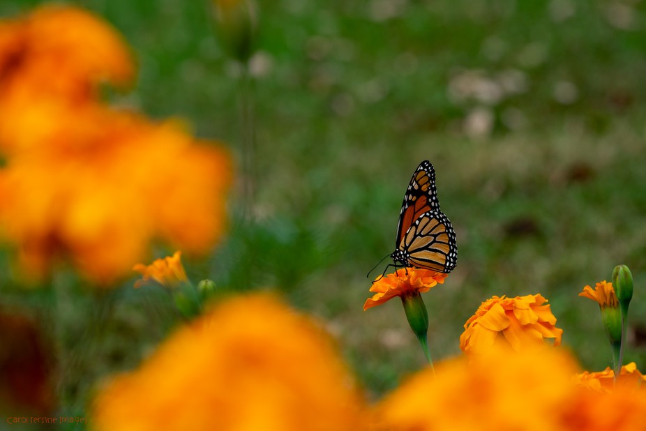 DSC07090.Monarch on Marigold