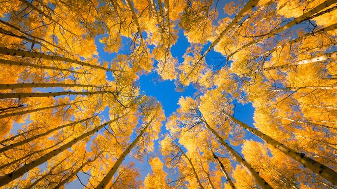 Aspen Crown by MichaelRung - Earth Day 2020 Photo Contest